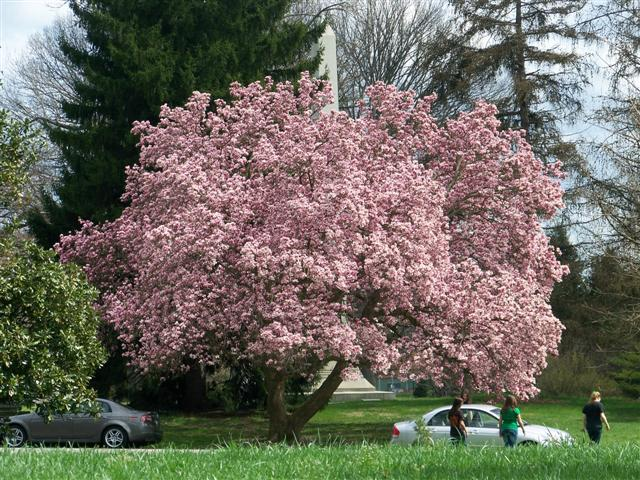 General Information About Magnolia Denovaagrocom